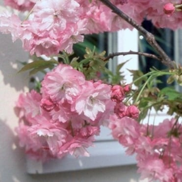 Prunus 'Little Pink Perfection' Tree