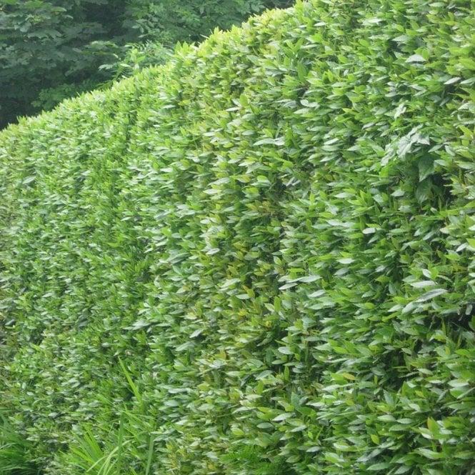 Portuguese Laurel Hedge Plants For Sale Prunus Lusitanica
