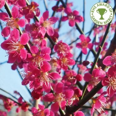 Flowering Cherry Trees For Small Gardens Dwarf Cherry Blossom