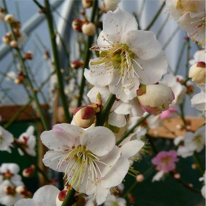 White flowering cherry blossom trees ornamental trees ltd prunus mume omoi no mama tree mightylinksfo