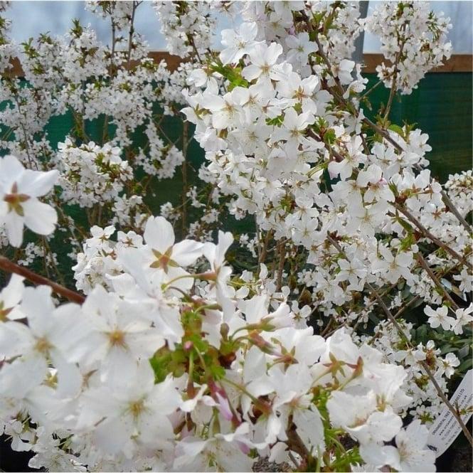 White flowering cherry blossom trees ornamental trees ltd prunus nipponica kurilensis brilliant tree mightylinksfo