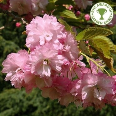 Prunus 'Pink Perfection' tree