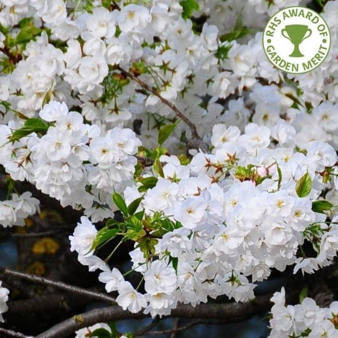 Prunus shirotae buy mount fuji cherry blossom trees spreading cherry tree silhouette prunus 039 mightylinksfo