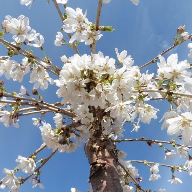 Prunus Snow Showers Or Hillings Weeping