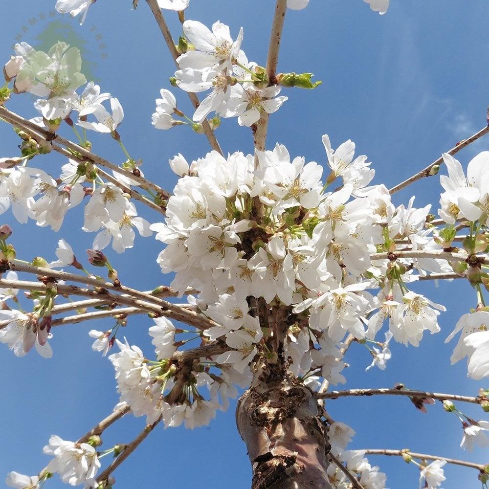 Prunus Snow Showers Or Hillings Weeping Weeping Fuji Cherry Trees