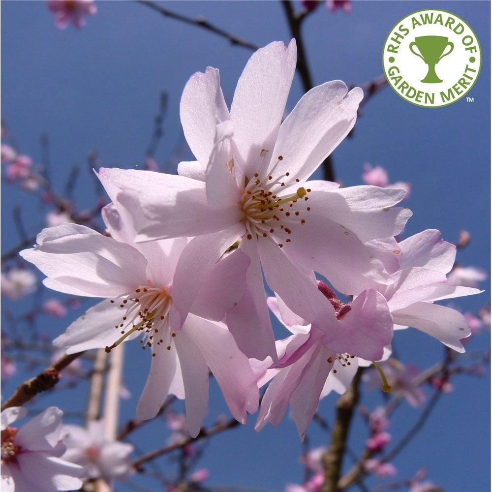 Prunus Subhirtella Autumnalis Rosea Pink Winter Cherry Trees