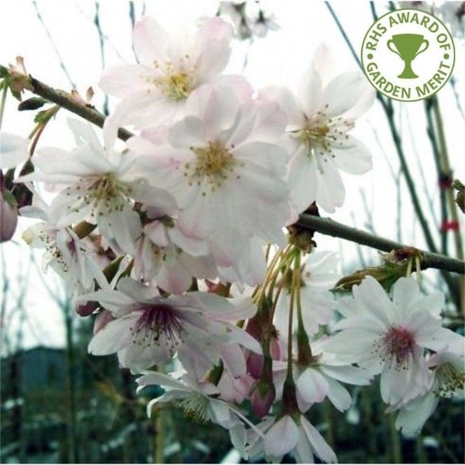 Kwanzan Cherry Tree Gardenerdy