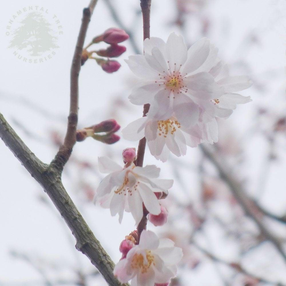 Prunus X Subhirtella Autumnalis Winter Flowering Cherry Trees