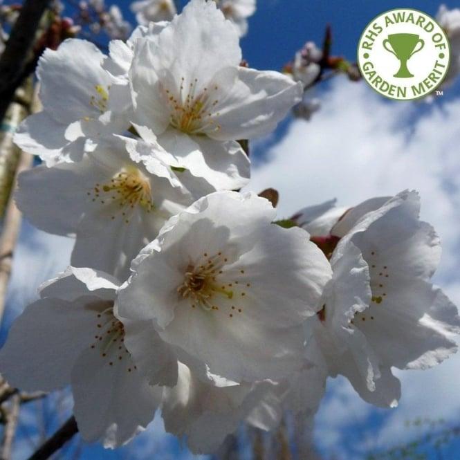 Prunus Taihaku Buy Great White Cherry Blossom Trees