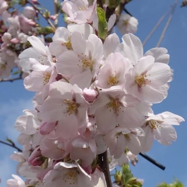 Prunus x yedoensi tree