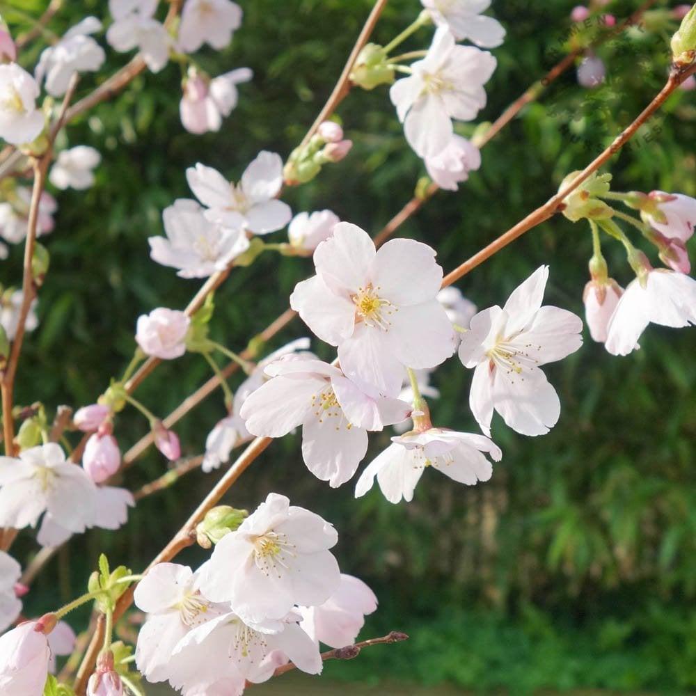 Prunus X Yedoensis Buy Japanese Yoshino Cherry Trees