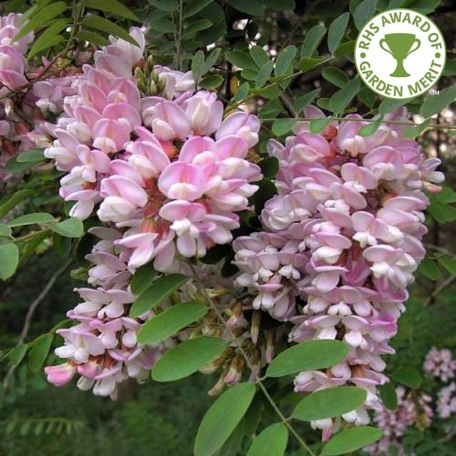 Robinia Pseudoacacia Hillieri Tree Pink Acacia Trees Online