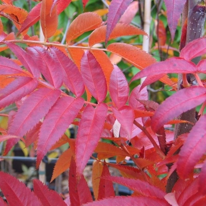 Sorbus commixta 'Olympic Flame' Tree