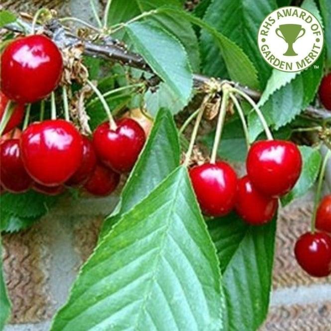 Stella Cherry Tree | Sweet Eat...