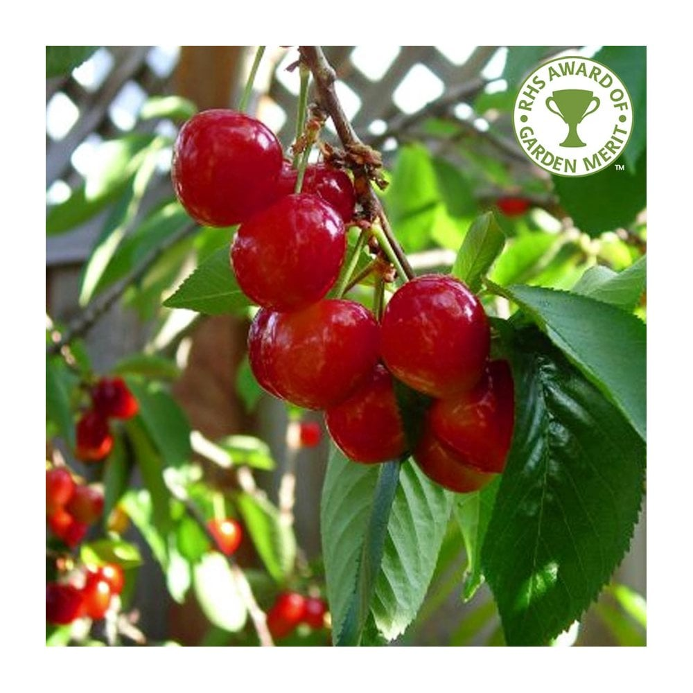 Stella Cherry Tree Sweet Eating Cherry Trees For Sale