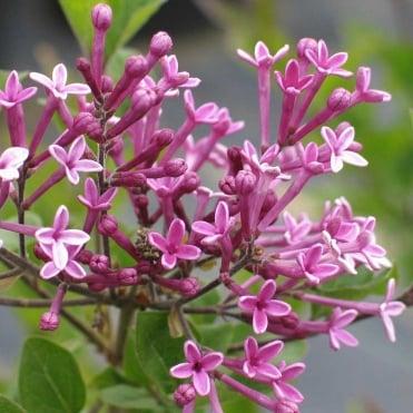 Blue purple flowering trees ornamental trees ltd syringa dark purple mightylinksfo
