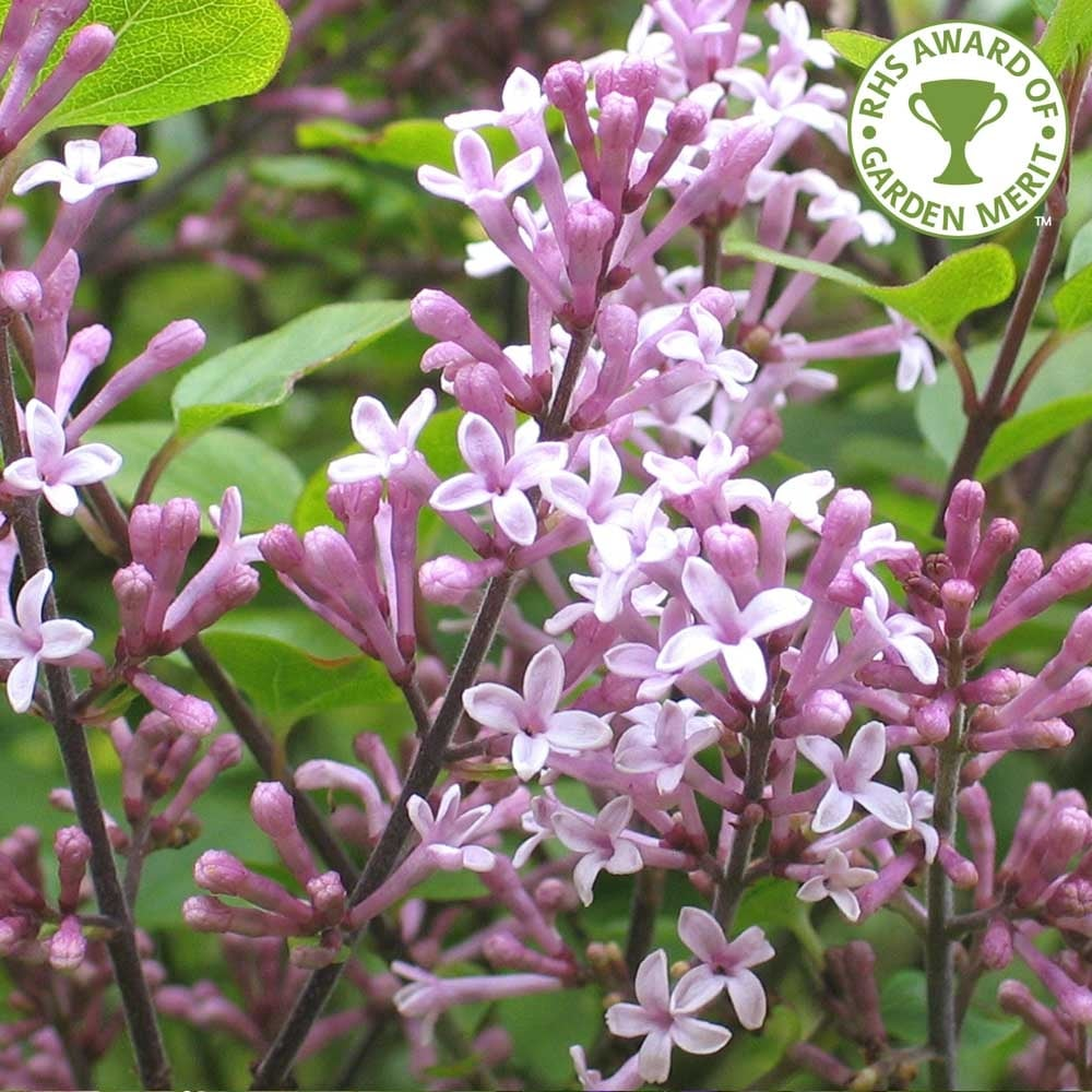 syringa meyeri palibin korean dwarf lilac shrubs for sale. Black Bedroom Furniture Sets. Home Design Ideas