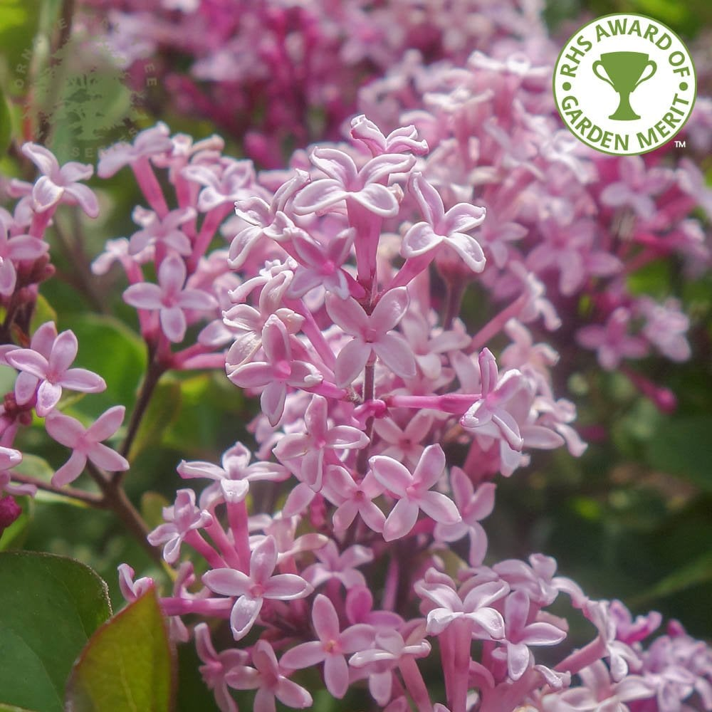 Syringa Red Pixie Dwarf Pink Lilac Shrubs For Sale
