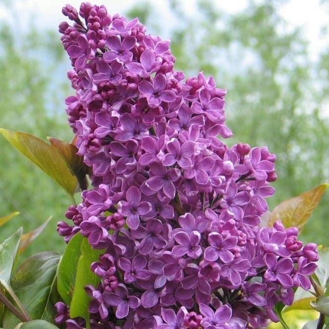 Blue purple flowering trees ornamental trees ltd syringa vulgaris souvenir de louis spaeth tree mightylinksfo