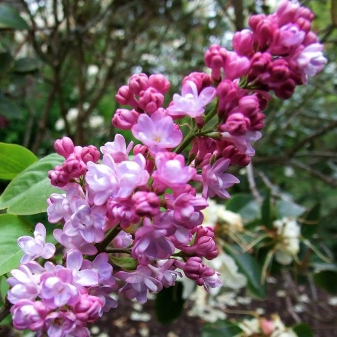 Syringa vulgaris 'Belle de Nancy' Tree