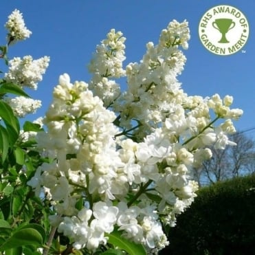 Syringa vulgaris 'Madame Lemoine' tree