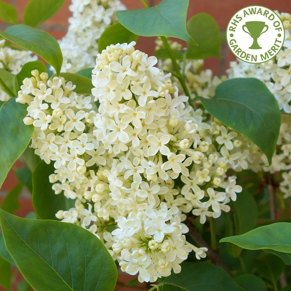 Syringa Vulgaris Primrose Buy Yellow Lilac Trees Bushes