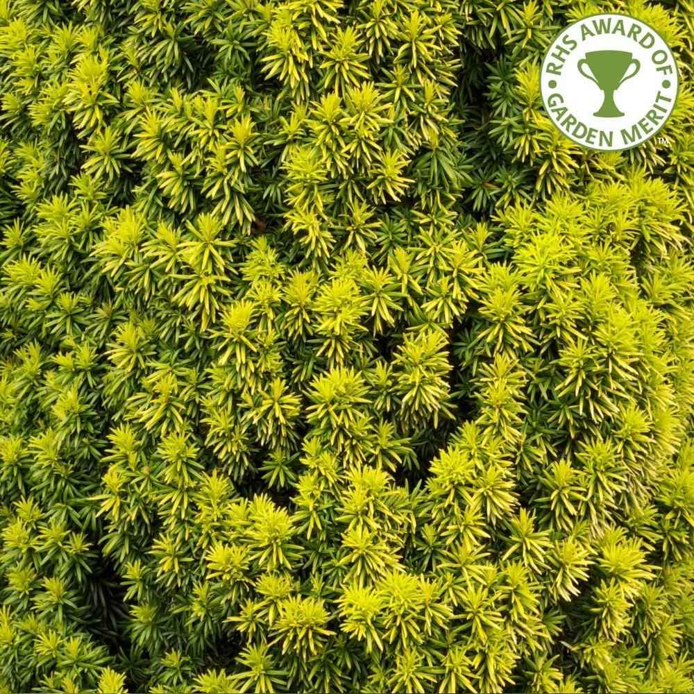Small Ornamental Evergreen Trees: Taxus Baccata Standishii Tree