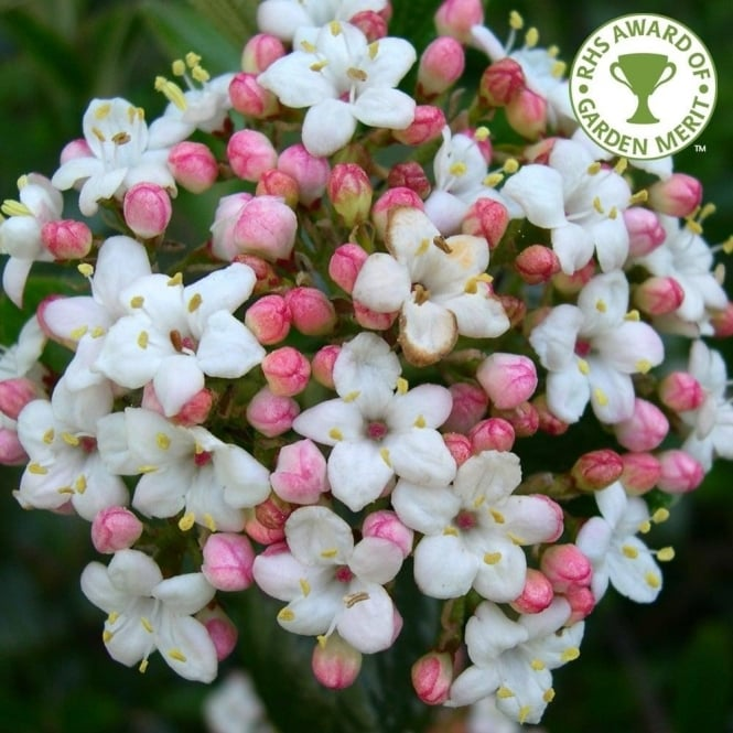 Viburnum x burkwoodii mohawk tree flowering viburnum shrubs viburnum x burkwoodii 039 mightylinksfo