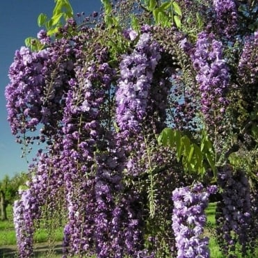 Climbing Wisteria floribunda 'Black Dragon' tree